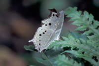 White Butterfly, Gombe National Park, Tanzania Fine Art Print