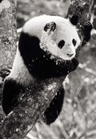 China, Sichuan, Giant Panda Bear, Wolong Reserve Fine Art Print