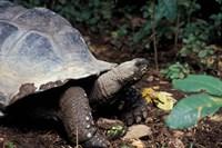 Closeup of Giant Tortoise, Seychelles Fine Art Print