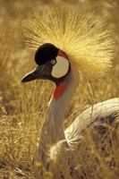African Crowned Crane, South Africa by Michele Westmorland - various sizes