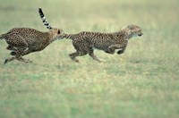 Cheetah Cub Playing on Savanna, Masai Mara Game Reserve, Kenya Fine Art Print