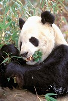 China, Wolong Nature Reserve, Giant panda bear Fine Art Print
