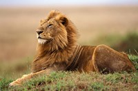Adult male lion on termite mound by Adam Jones - various sizes
