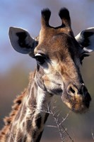 Close-up of Giraffe Feeding, South Africa Fine Art Print
