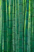 Bamboo forest, Hangzhou, Zhejiang Province, China by Keren Su - various sizes