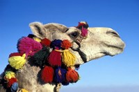 Colorfully Decorated Tourist Camel, Egypt Fine Art Print