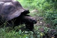 Giant Tortoise, Seychelles Fine Art Print