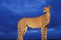 Cheetah at Dusk, Masai Mara Game Reserve, Kenya Fine Art Print