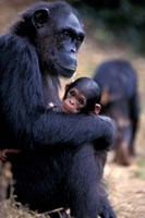 Female Chimpanzee Cradles Newborn Chimp, Gombe National Park, Tanzania Fine Art Print