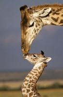 Giraffe, Masai Mara, Kenya Fine Art Print