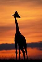Giraffe Silhouetted, Masai Mara Game Reserve, Kenya Fine Art Print