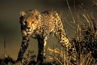 Cheetah Cub in Short Grass, Masai Mara Game Reserve, Kenya Fine Art Print