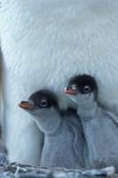 Gentoo Penguin Chicks, Port Lockroy, Wiencke Island, Antarctica Fine Art Print