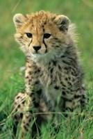 Cheetah, Tanzania, Serengeti NP, Cheetah cub Fine Art Print