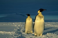Emperor Penguins, Mt. Melbourne, Antarctica Fine Art Print