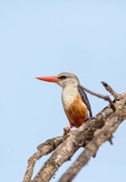 Grey-headed Kingfisher, Tanzania Fine Art Print