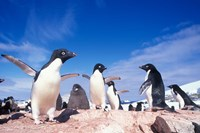 Adelie Penguin Rookery, Petermann Island, Lemaire Channel, Antarctica by Paul Souders - various sizes