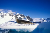 Antarctica, Boothe Island, Leopard Seal, iceberg by Paul Souders - various sizes