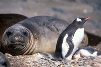 Gentoo Penguin's Nest By Elephant Seals, Hannah Point, Livingston Island, Antarctica by Paul Souders - various sizes
