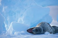 Antarctica, Boothe Isl, Lemaire Channel, Leopard Seal by Paul Souders - various sizes
