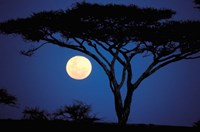 Acacia Tree in Moonlight, Tarangire, Tanzania Fine Art Print