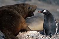 Antarctica, Livingston Island, Gentoo penguin by Paul Souders - various sizes