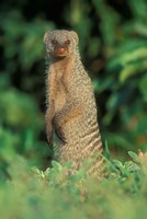 Botswana, Chobe NP, Banded Mongoose river bank by Paul Souders - various sizes