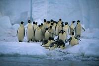 Emperor Penguins, Cape Roget, Ross Sea, Antarctica Fine Art Print