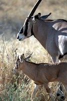 Beisa Oryx and Calf, Kenya Fine Art Print