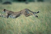 Cheetah Running After Prey, Masai Mara Game Reserve, Kenya by Paul Souders - various sizes