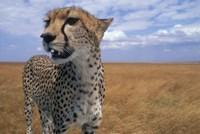 Cheetah, Kenya by Paul Souders - various sizes