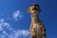Cheetah Watching Surrounding Savanna, Masai Mara Game Reserve, Kenya by Paul Souders - various sizes