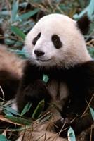 China, Chengdu, Panda Sanctuary, Panda bear by Cindy Miller Hopkins - various sizes