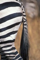Close-Up of Plains Zebra, Masai Mara Game Reserve, Kenya by Paul Souders - various sizes