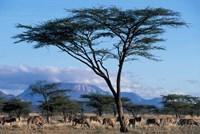 Herd of Gemsbok Feeding, Buffalo Springs Game Reserve, Kenya by Paul Souders - various sizes, FulcrumGallery.com brand