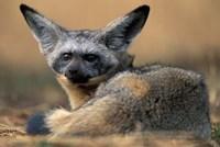 Bat Eared Fox Rests on Savanna, Masai Mara Game Reserve, Kenya by Paul Souders - various sizes