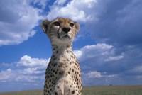 Cheetah Surveying Savanna, Masai Mara Game Reserve, Kenya by Paul Souders - various sizes