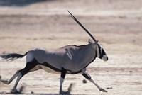 Gemsbok Runs Along Dry Salt Pan, Etosha National Park, Namibia by Paul Souders - various sizes