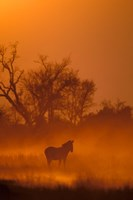 Burchell's Zebra at Sunset, Okavango Delta, Botswana Fine Art Print