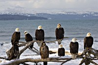 Bald Eagles in Winter, Homer, Alaska Fine Art Print