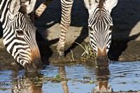 Burchell's Zebras Drinking, Tanzania Fine Art Print