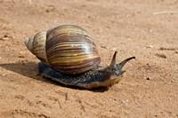 Giant African Land Snail, Tanzania Fine Art Print
