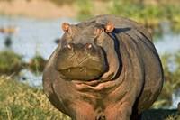 Hippopotamus, Tanzania Fine Art Print