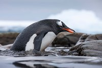 Antarctica, Cuverville Island, Gentoo Penguin climbing from water. by Paul Souders - various sizes, FulcrumGallery.com brand