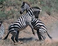 Fighting Burchell's Zebra, Serengeti, Tanzania Fine Art Print