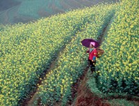 Chinese Woman Walking in Field of Rapeseed near Ping' an Village, Li River, China Fine Art Print
