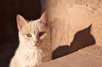 Cat inside kasbah de Taourirt; same clay color! Fine Art Print