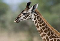 Close-up of Masai Giraffe, Tanzania Fine Art Print