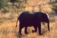 Close-up of Elephant in Kruger National Park, South Africa by Bill Bachmann - various sizes