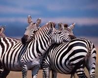 Group of Zebras, Masai Mara, Kenya Fine Art Print